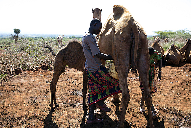 A woman milks a camel