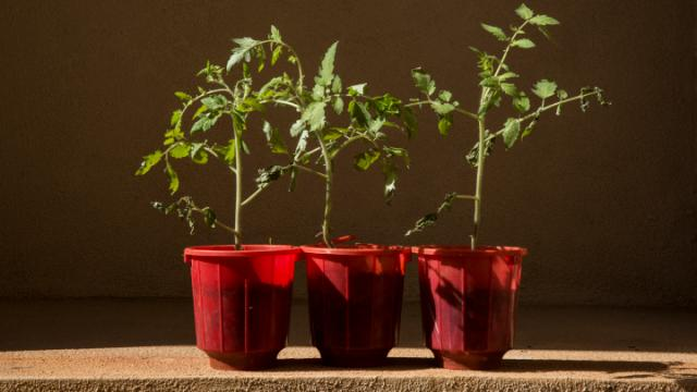 Three small tomato plants sitting on a counter are hit by sun rays from the left.