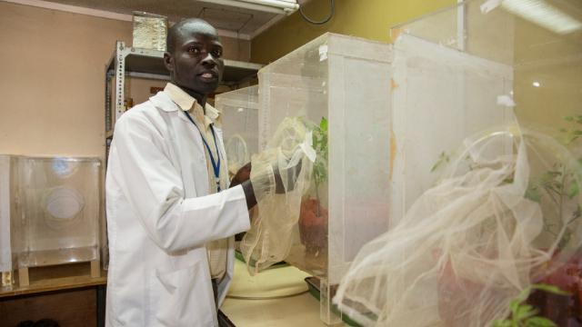 A scientist works on different tomato plants in the lab.