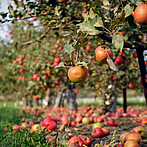 Sustainable apples for French-speaking Switzerland