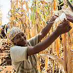 Protecting Kenya's agriculture from climate change